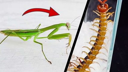 當螳螂遇到蜈蚣!Praying Mantis VS Centipede # ANIMAL LOVERS