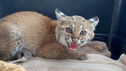 Baby Bobcat Gets A Friend
