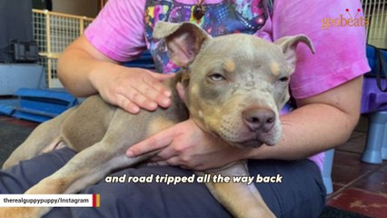 This pit bull was dumped by breeder for walking funny