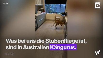 Nur in Australien: Känguru verirrt sich in Wohnung