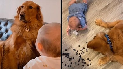 Golden Retriever Was Not Consulted About Tiny Human