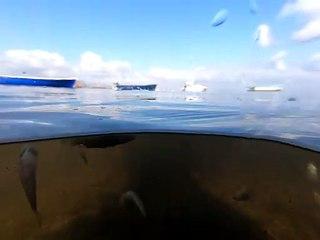 Varios peces  flotan en el Mar Menor tras el último episodio de muerte masiva ocurrido a mediados de agosto.