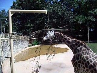 Etende Giraf - Ouwehands dierenpark - dinsdag 30-7-2019