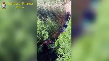 Ardea, scoperta piantagione di marijuana