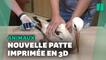 Cette cigogne vit avec une prothèse de patte imprimée en 3D