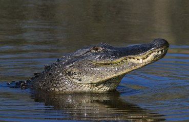 Mississippi hunters catch 13-foot 787-pound alligator