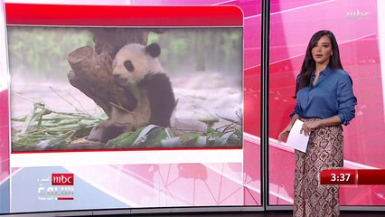 """""""الباندا الأحمر"""" حيوان مهدد بالانقراض  وفي غرائب البشر """"قبيلة تمارس طقوس غريبة في بابوا غينيا الجديدة"""""""