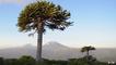 Chile: Indigene schützen die letzten Araukarien-Wälder