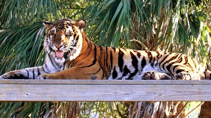 Excited Tiger Gets A New House!
