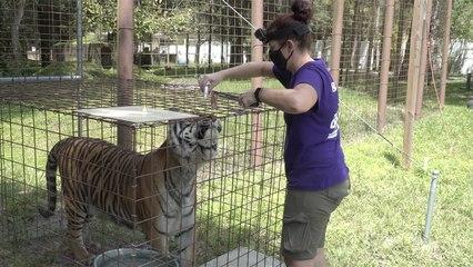 Tiger Gets Eye Drops!?