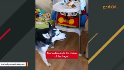 Scary smart dog learns to say 'NO' to dad