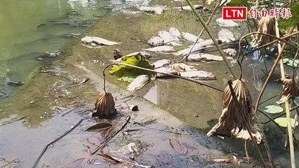 太熱!竹北新瓦屋魚群暴斃 竹縣府請民眾別再餵魚