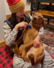 Pet Dog Loves to Get His Hair Brushed