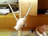 chaton siamois joue avec des ponpon