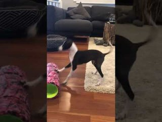 Puppy Plays With Huge Roller on the Floor