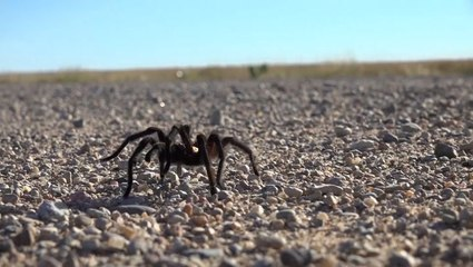 People travel hours to witness tarantula migration in Colorado