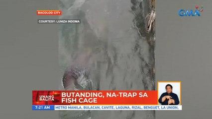 Butanding, na-trap sa fish cage | UB