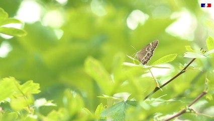 Papillons menacés - Tout savoir sur la Bacchante