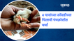 Mandangad | आश्चर्य! 4 पायांच्या कोंबडीच्या पिलाची पंचक्रोशीत चर्चा |chicks| Hen | Sakal Media