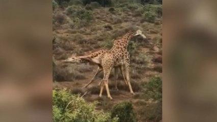 Giraffe floors rival with judo-like throw