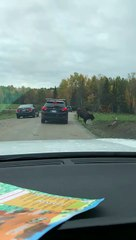 Un bison se coince la tête dans une voiture