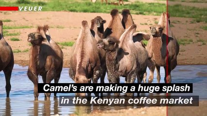 Your Next Coffee Could Be a 'Camel-ccino'