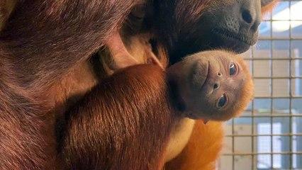 Baby Howler monkey Yorkshire Wildlife Park