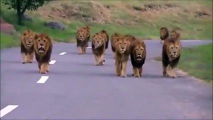 Tu fais moins le malin quand 20 lions se dirigent droit vers ta voiture !