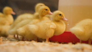 We visited one of the last foie gras farms in the US to see how the dish went from luxury to controversy