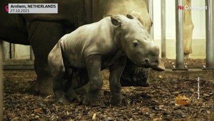 Pays-Bas : naissance d'un bébé rhinocéros blanc du Nord au zoo d'd'Arnhem
