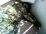 Un chat parmi trois chattes