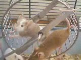 rodentia rongeurs souris rats lapins gerbille hamster furets