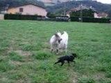 Phénix et les chèvres