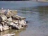 Les oiseaux du Lac Léman