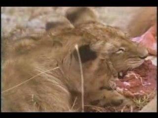 Lion vs Hyena2