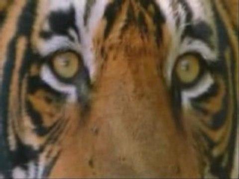 TIGRE - Maravillosa Criatura