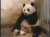Baby-Panda-Sneeze