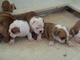 Bullie Pups R Us litter at 4 weeks old.