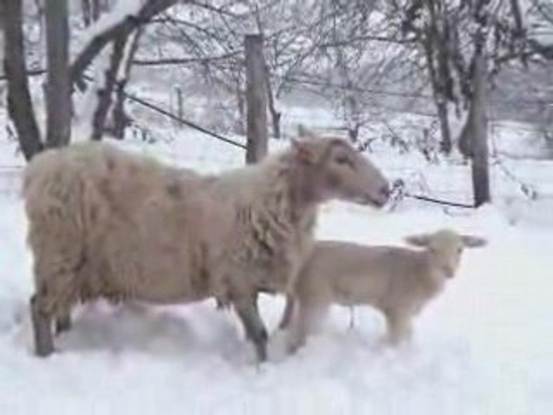 Le silence des agneaux mais pas des moutons