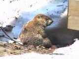 toilette de marmotte commune