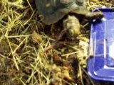 tortue charbonniere repas