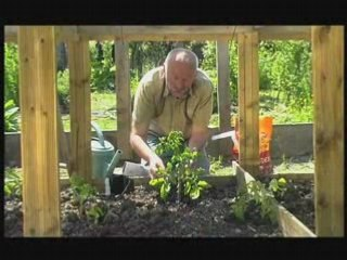 Planter des tomates avec du neem