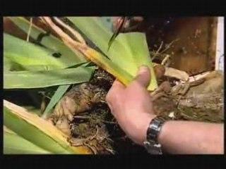 Visionnez les Cours Vidéo de Les Iris - Conseil Jardinage