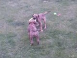 Border terriers 6