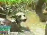 Anaconda bouffe chien