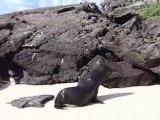 lion de mer aux iles galapagos