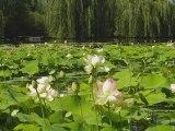 Lotus et nénuphars