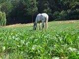 Paso dans le pré d herbe dur dur la vie de cheval