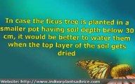 Planting Ficus Tree Made Easy