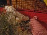 Bébés Hamsters ,premières disputes